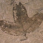 Fossil Leaves of the Acer monspessulanum (Montpellier Maple Tree)