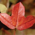 Living Fossil Maple Leaf