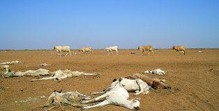 Dead livestock Africa