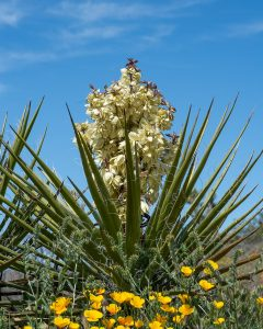 The yucca flowers once a year, and at exactly the same time the yucca moths break out of cocoons