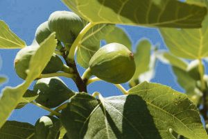 Fig trees rely on one particular wasp for pollination