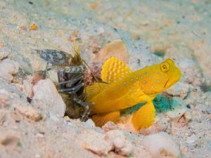 Goby fish and snapping shrimps need each other to survive